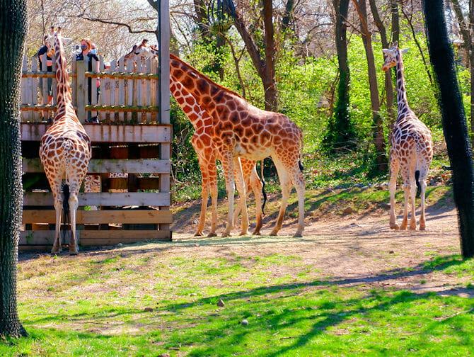 NYC ブロンクス動物園のキリン