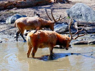 ニューヨーク ブロンクス動物園 - 水を飲む動物