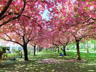 ニューヨーク ブルックリン - ブルックリン植物園