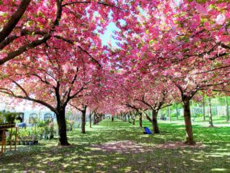 ニューヨークの植物園 - 桜